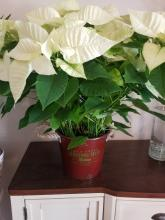 Xmas Trees Tin with Poinsettia