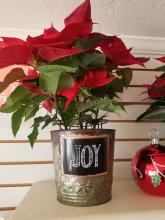 "6"" Poinsettia in Joy Tin"