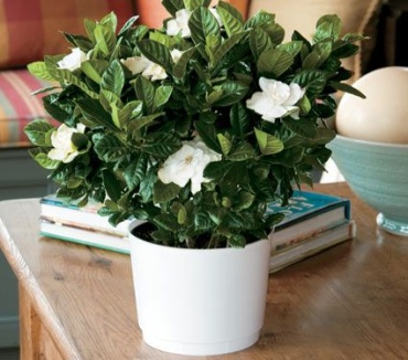 Gardenia in White Ceremic Pot