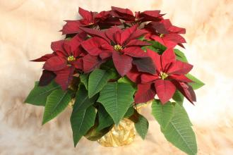 Red Poinsettia gold foil with bow