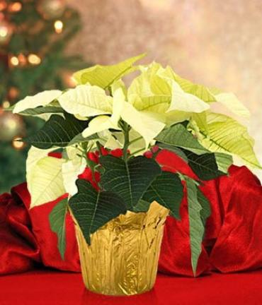 White Poinsettia gold foil with bow